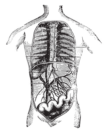 41712222 - absorbents of the intestine, vintage engraved illustration.